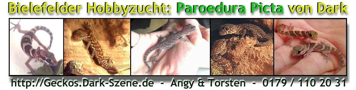 Bielefelder Hobbyzucht: Paroedura Picta von Dark
