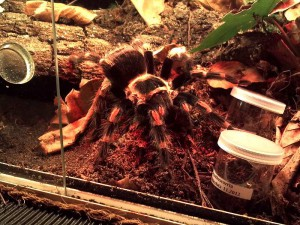 wunderhübsche Vogelspinnen (Acanthoscurria geniculata und Brachypelma auratum)
